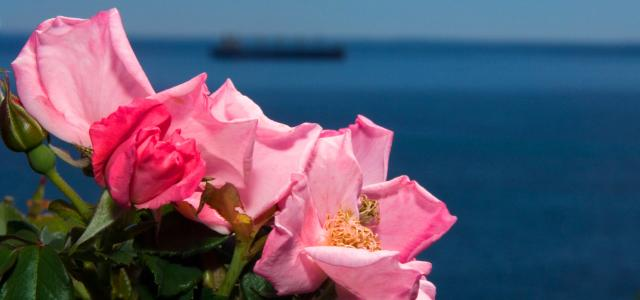 Flowers in foreground with ship on Lake Superior in background.